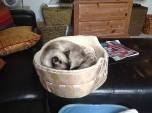 Safe Siamese in Lexington, KY US