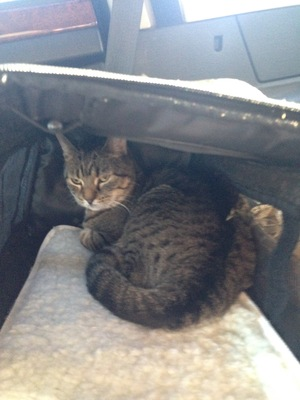 Safe Domestic Short Hair in New Haven, CT US