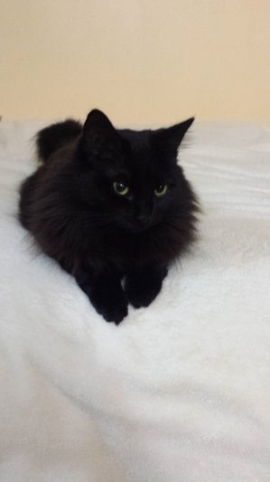 Safe Domestic Short Hair in Bloomingdale, IL US
