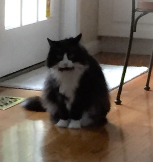 Safe Domestic Long Hair in Atkinson, NH US