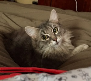 Safe Domestic Long Hair in Richmond, VA US
