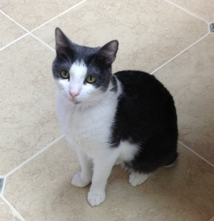 Safe Domestic Short Hair in McKinney, TX US