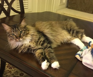 Safe Maine Coon in Santa Rosa, CA US
