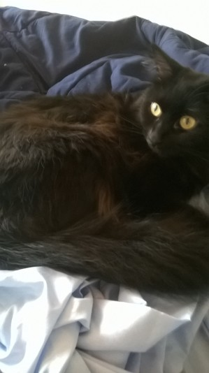 Safe Domestic Long Hair in Bellevue, WA US