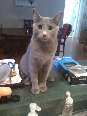 Safe Russian Blue in Lutz, FL US