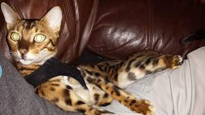 Safe Bengal cat in Port Richey, FL US