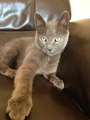 Safe Domestic Short Hair in Mount Pleasant, SC US