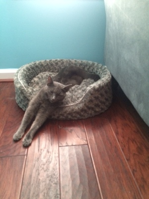 Safe Domestic Short Hair in Reston, VA US
