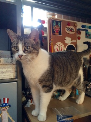 Safe Domestic Short Hair in Warren, MI US