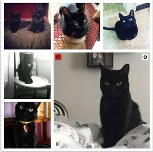 Safe Domestic Short Hair in Lancaster, NY US