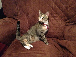 Safe American Shorthair in Yonkers, NY US