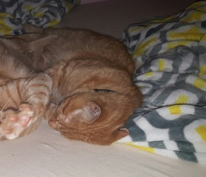 Safe Domestic Short Hair in Madison, WI US