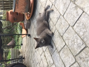 Lost American Shorthair in Fairfax, VA US