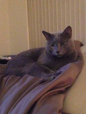 Safe Russian Blue in New Port Richey, FL US