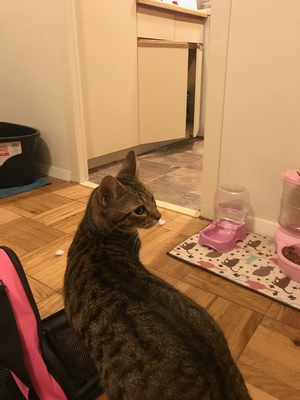 Safe Domestic Short Hair in San Francisco, CA US