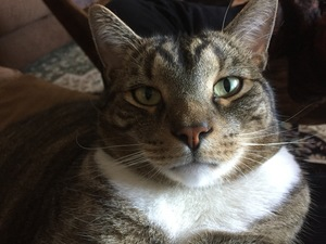 Lost American Shorthair in Chantilly, VA US