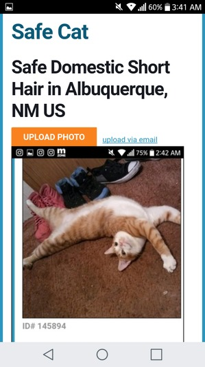 Safe Domestic Short Hair in Albuquerque, NM US