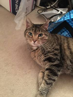 Safe American Shorthair in Rockville, MD US