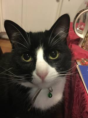 Safe Domestic Short Hair in Brookline, MA US