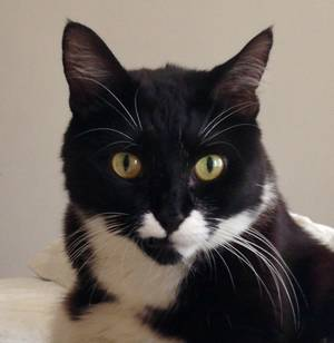 Safe Domestic Short Hair in New York, NY US