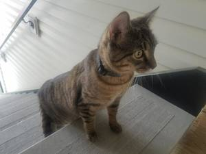 Found Cat in Germantown, MD US