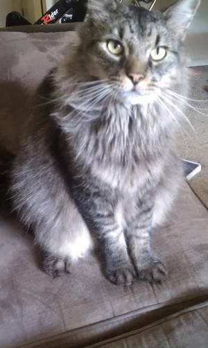 Lost Maine Coon in Alexandria, VA US
