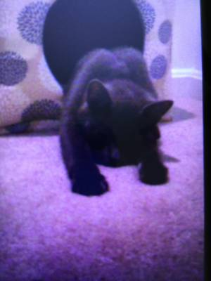 Lost Domestic Short Hair in Clayton, NJ US