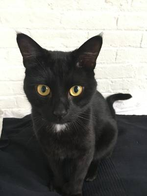 Lost Domestic Short Hair in Brooklyn, NY US