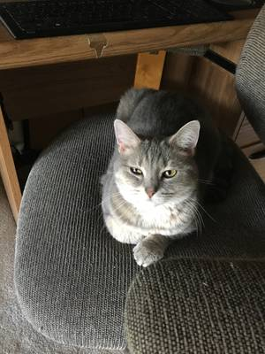 Lost Domestic Short Hair in Manassas, VA US
