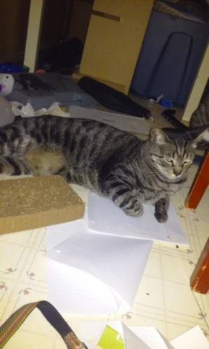 Safe Domestic Short Hair in Oregon City, OR US