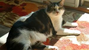 Lost American Shorthair in Irwin, PA US