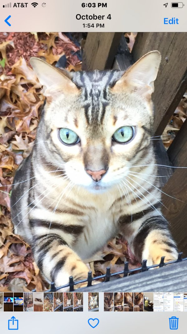 Lost Bengal cat in North Wales, PA US