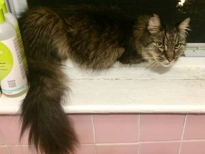 Found Maine Coon in Arlington, MA US