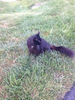 Found Domestic Long Hair in Potomac, MD US