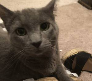 Lost Russian Blue in Howell, NJ US