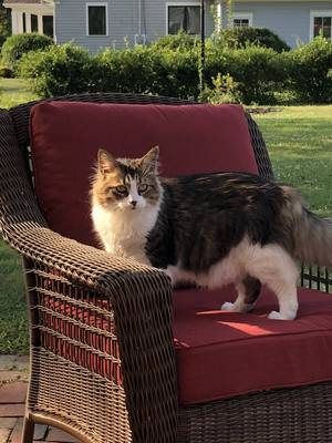 Lost Domestic Long Hair in Trumbull, CT US