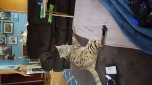 Safe Bengal cat in Moorhead, MN US