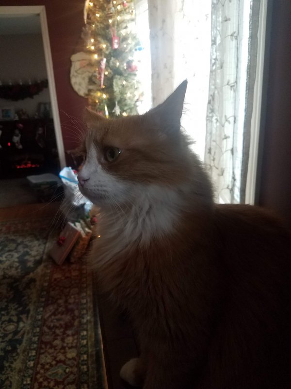 Lost Maine Coon in California, MD US