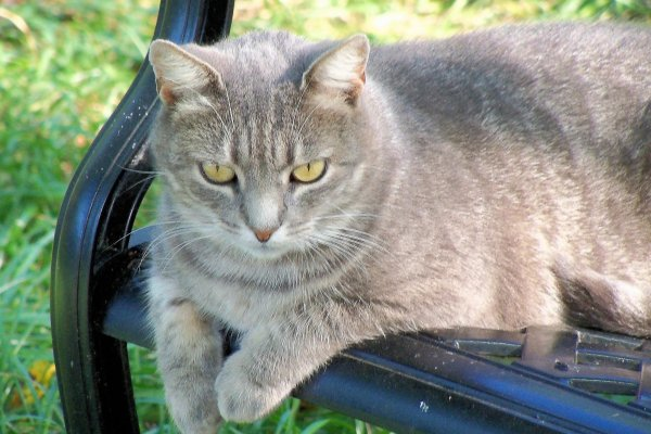 Lost Domestic Short Hair in Birdsboro, PA US