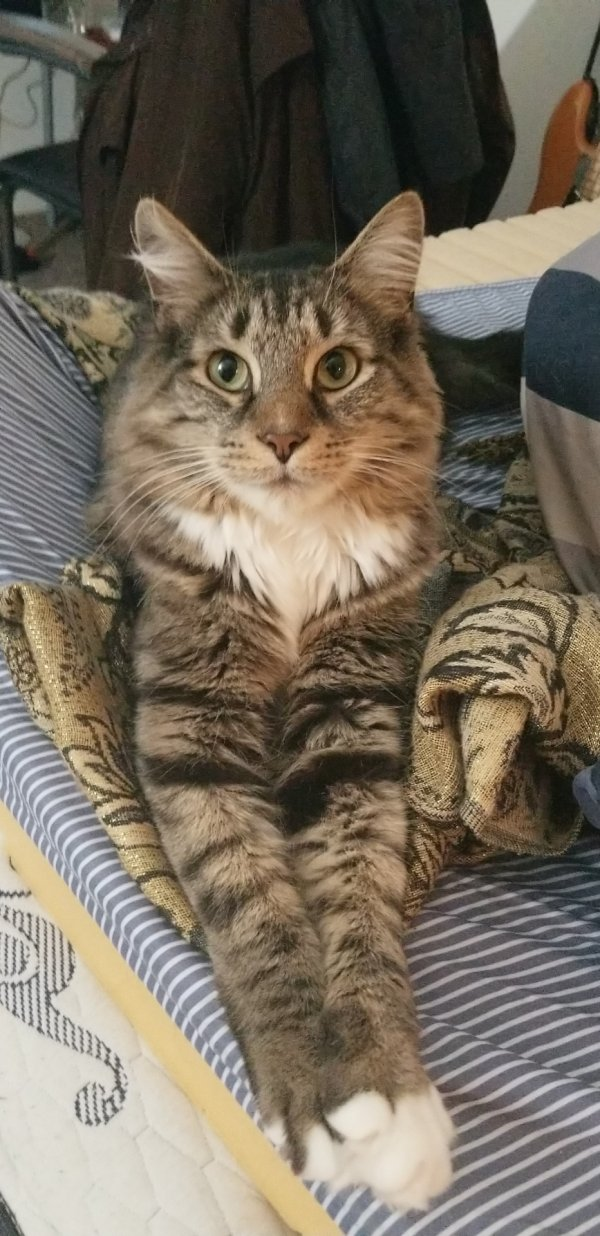 Lost Maine Coon in Bethesda, MD US