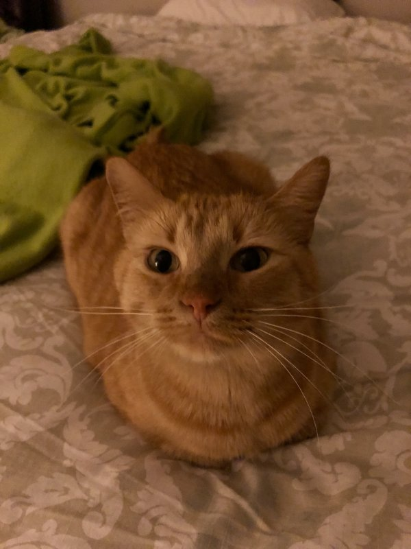 Safe Domestic Short Hair in Saint Paul, MN US