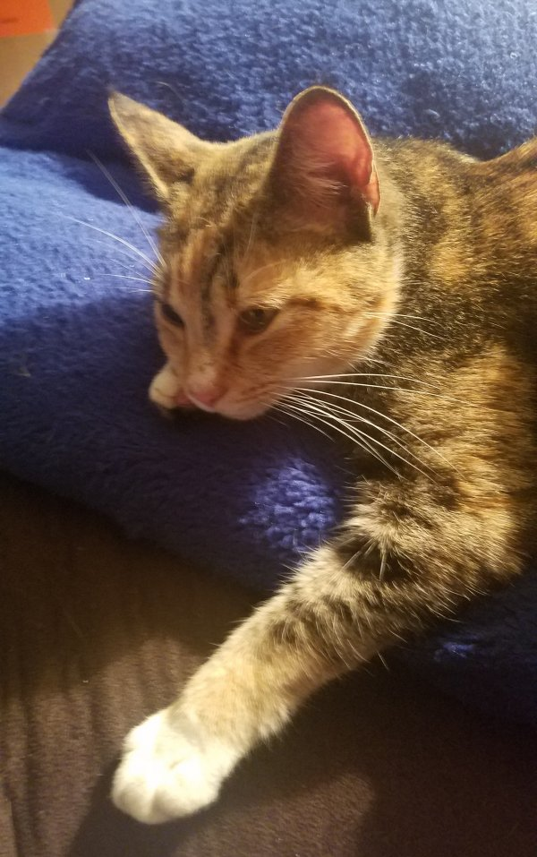 Found Domestic Short Hair in Morgantown, WV US