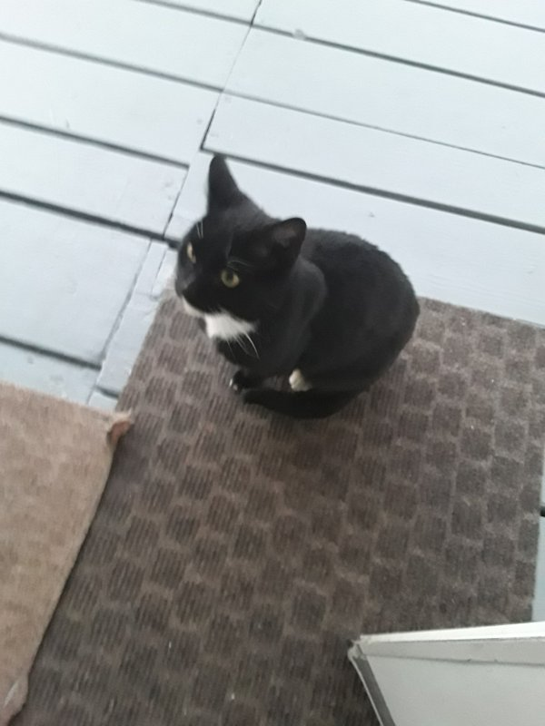 Found Domestic Short Hair in Stratford, CT US