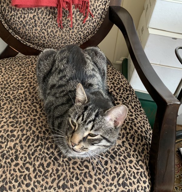 Lost Domestic Short Hair in Bethesda, MD US