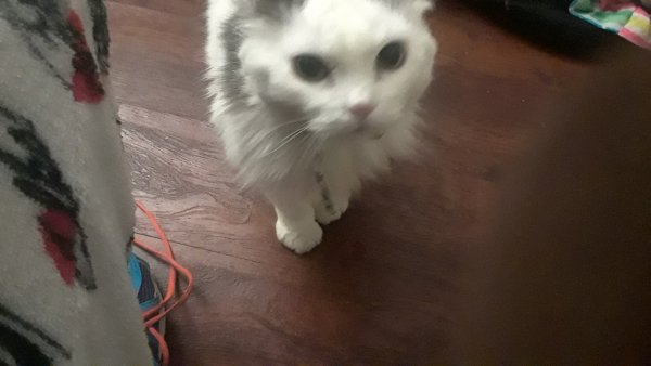 Lost Domestic Long Hair in Mc Kees Rocks, PA US