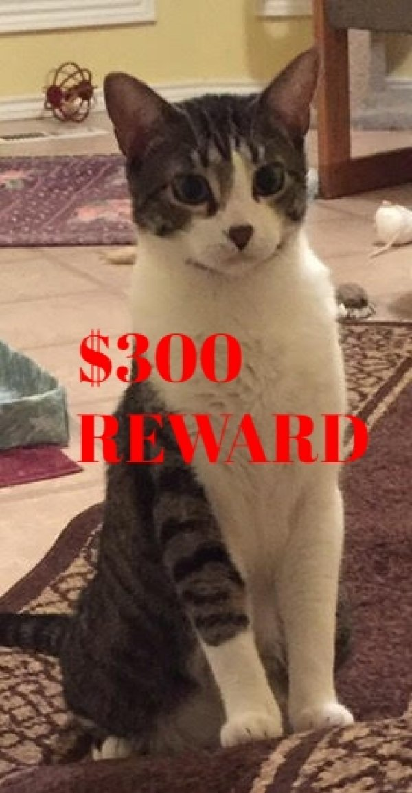 Lost Domestic Short Hair in Beaverton, OR US