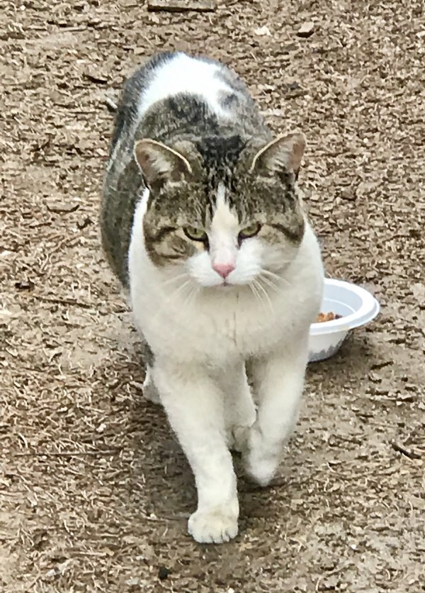Found American Shorthair in Stratford, CT US