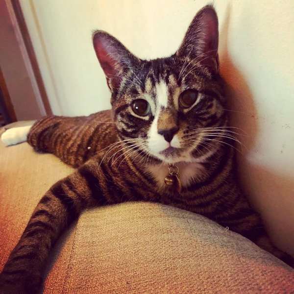 Lost Domestic Short Hair in Somerville, MA US