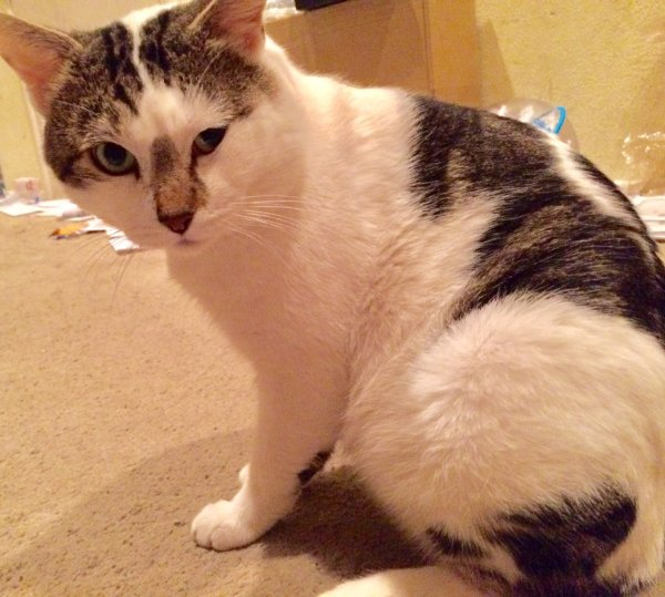 Safe Domestic Short Hair in Culver City, CA US