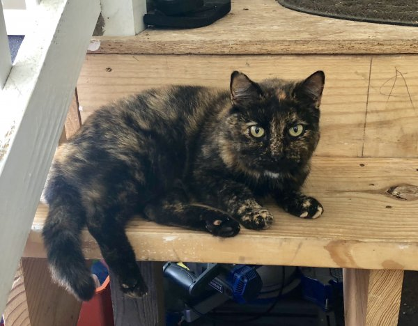 Lost Domestic Short Hair in White House, TN US